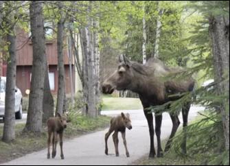 CW moose