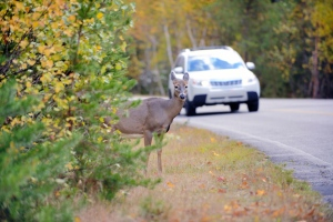 Driver beware: 'Tis the season for increased deer-vehicle crashes. Photo credit: Pascal L. Marius via istockphoto.com