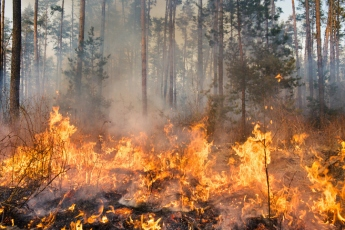 Wildfire rages out of control through a forest of pines.
